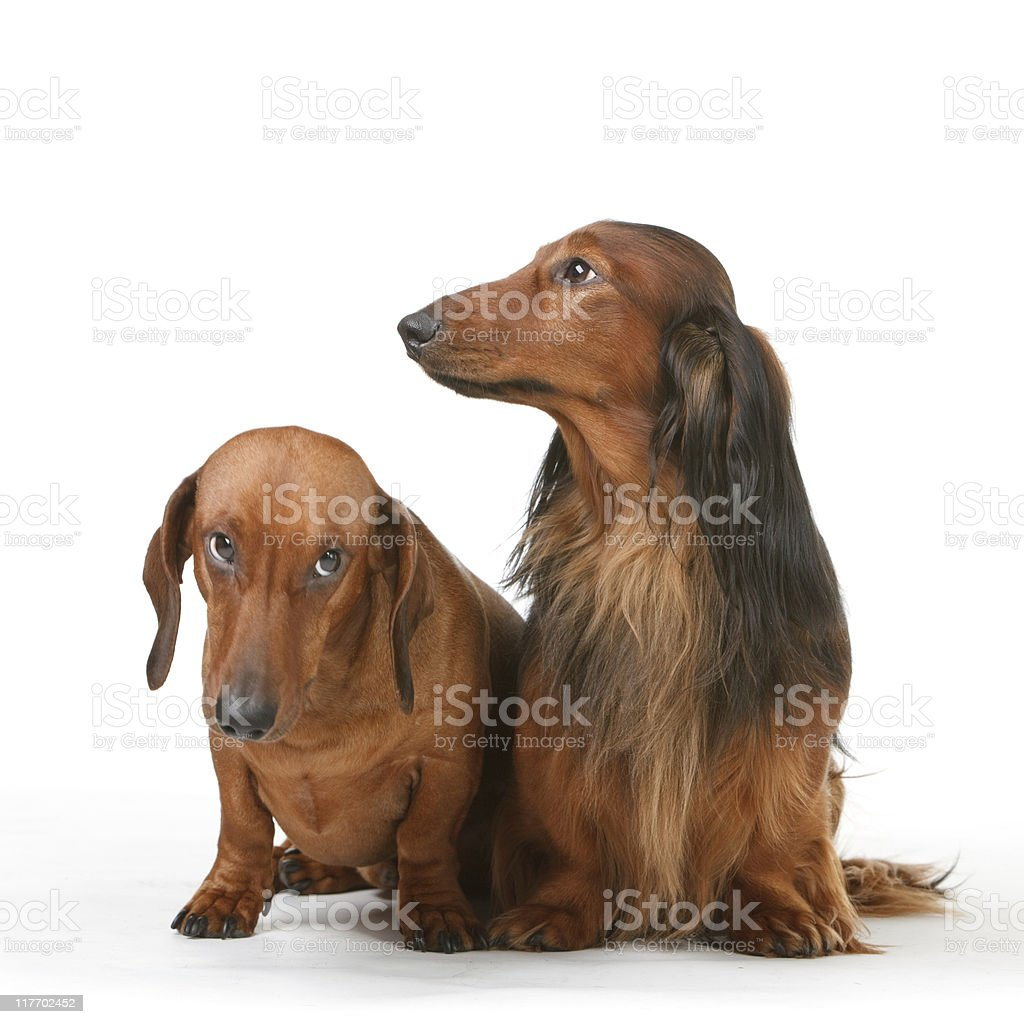 two badger dog royalty-free stock photo