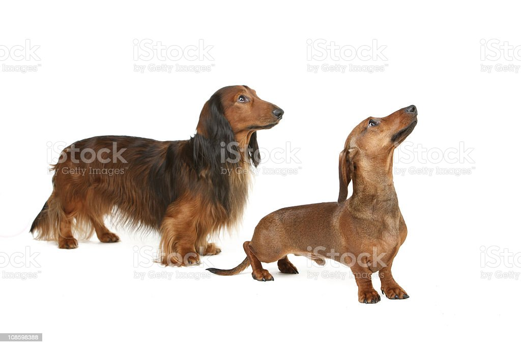 two badger-gogs stock photo