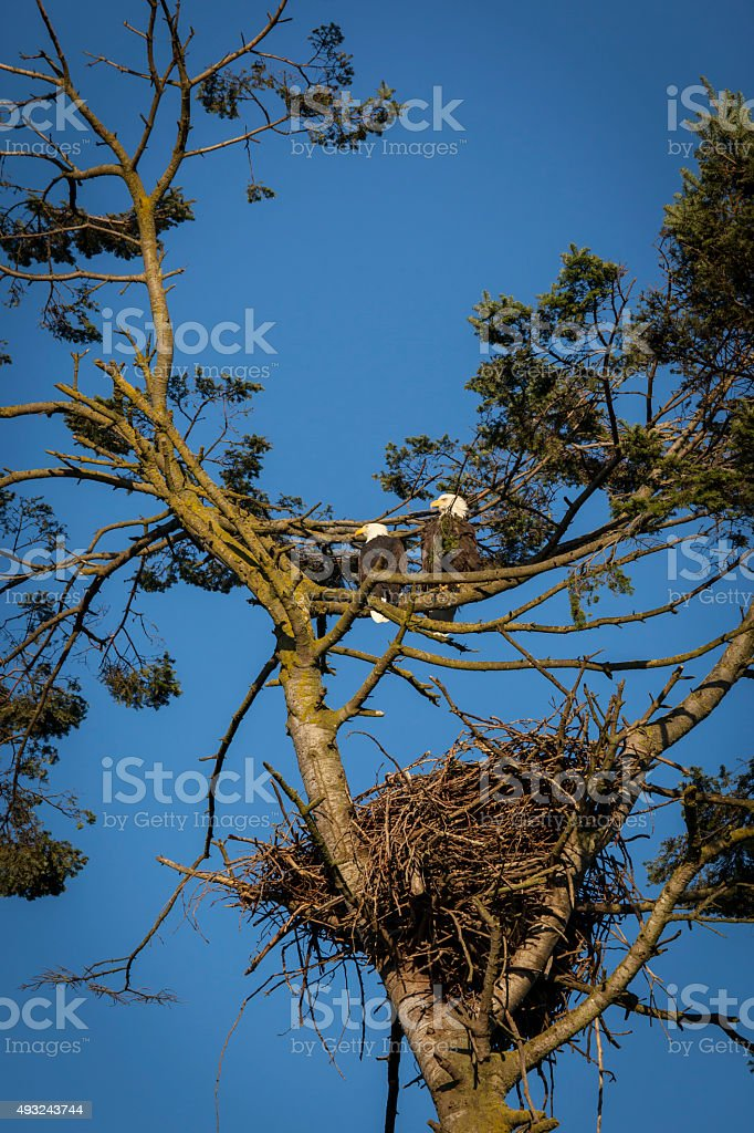 Two Bald Eagles by Their Nest stock photo