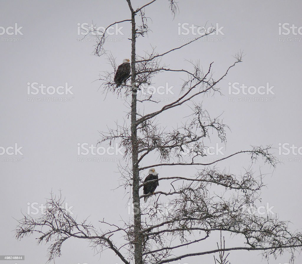 Two Bald Eagles in a tree stock photo