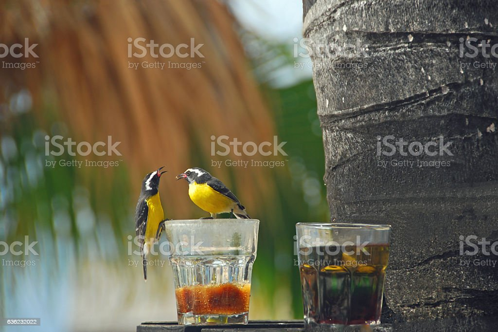 Two Bananaquit on a Birdfeeder eating some Sugar. stock photo