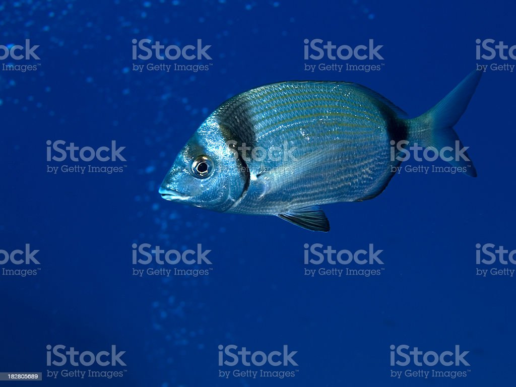 two banded sea bream - diplodus vulgaris stock photo