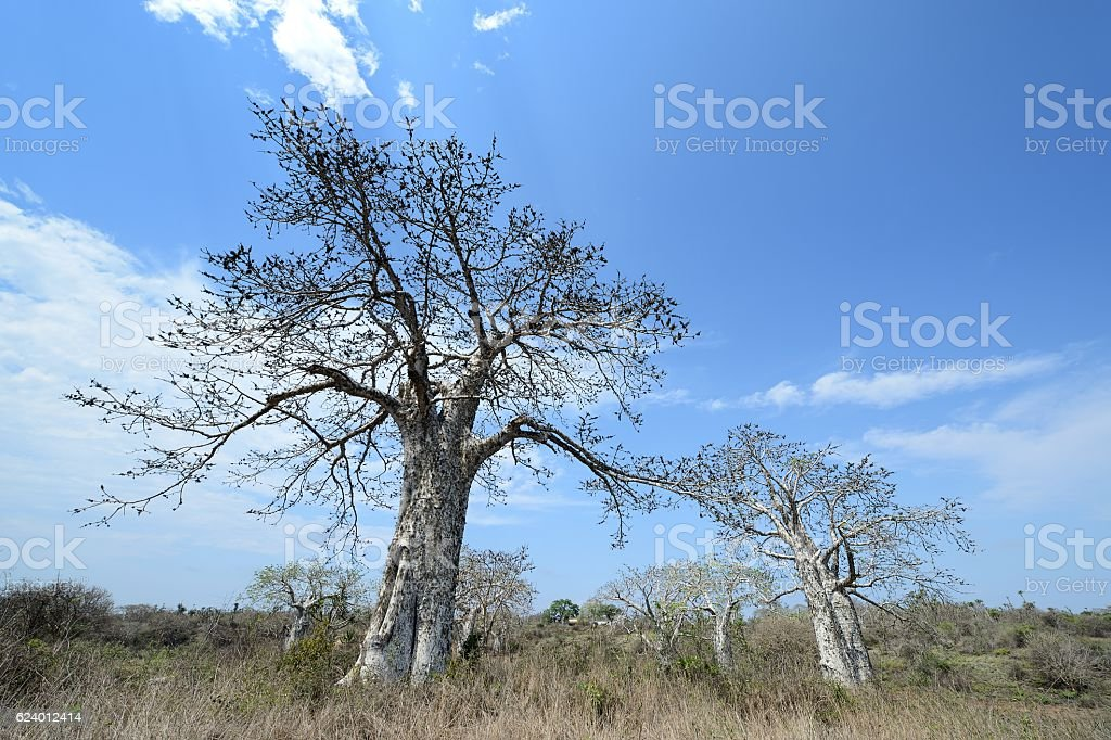 Two baobab trees against blue Angola sky stock photo
