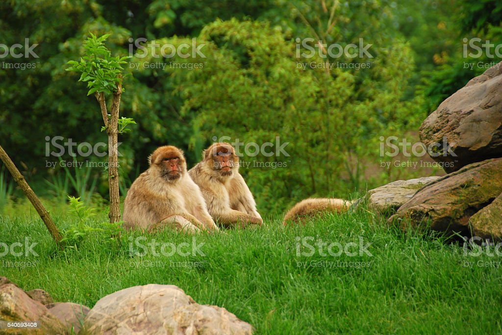 Two Barbary ape sitting side by side by dusk. stock photo