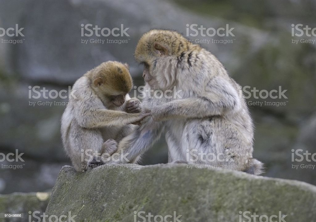 two barbary macaques royalty-free stock photo