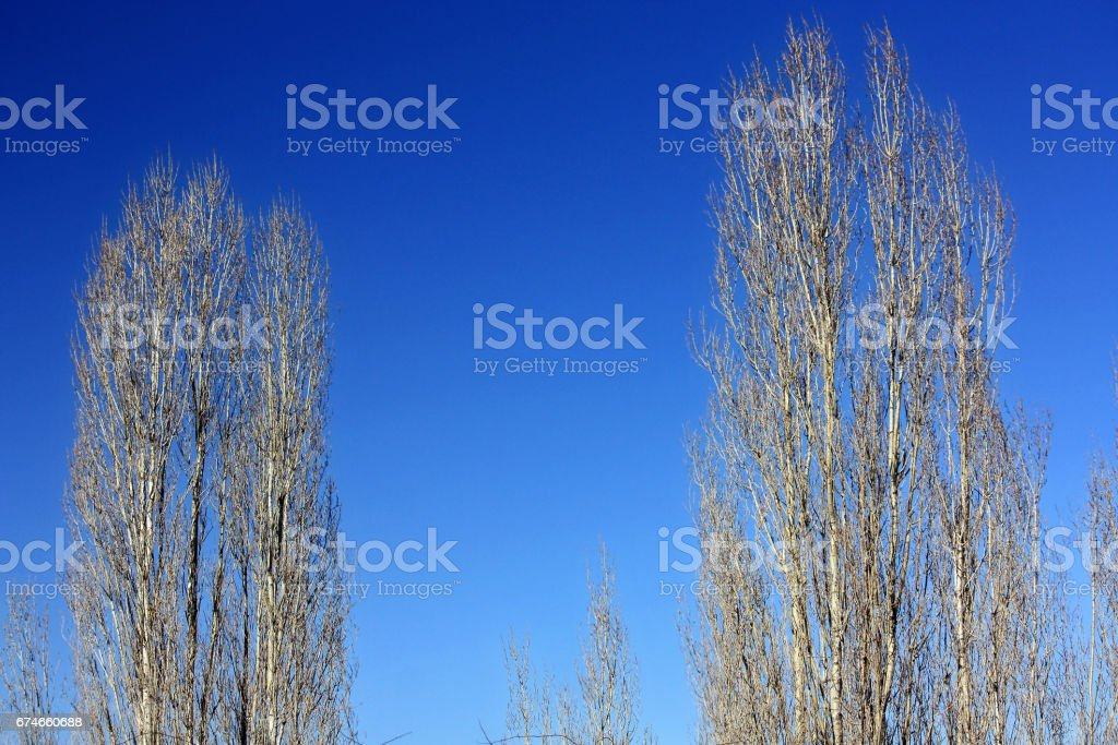 Two barren tree with blue sky stock photo