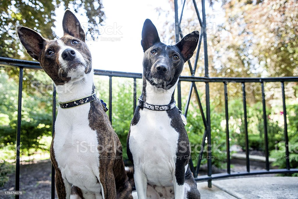 Two Basenji Dogs stock photo