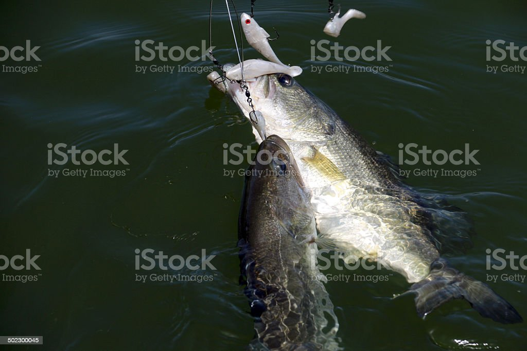 Two Bass in One Cash stock photo