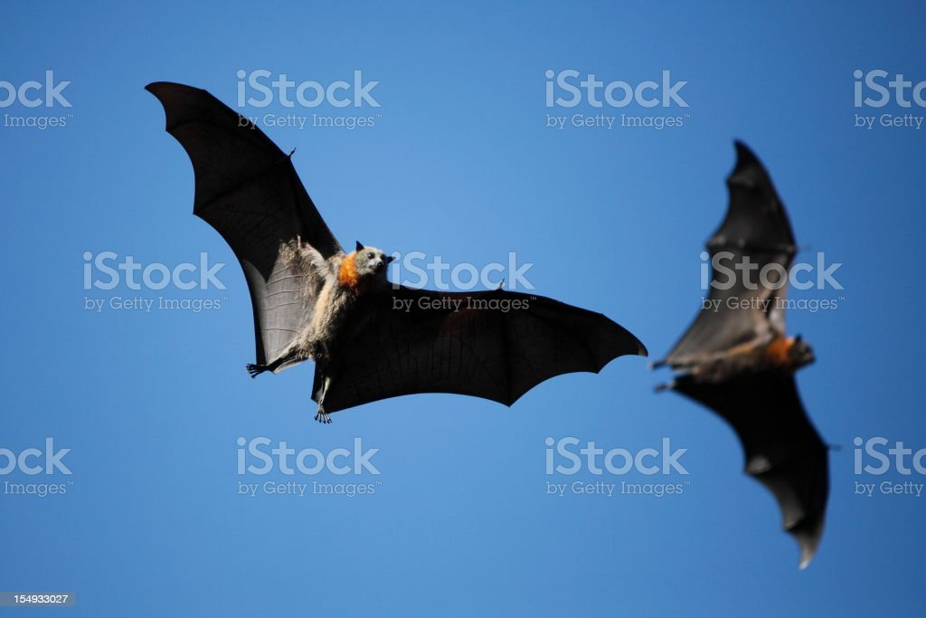 Two bats with wings outstretched flying in blue sky stock photo
