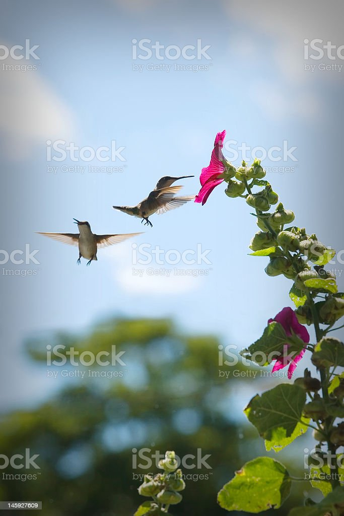 Two Battling Hummingbirds royalty-free stock photo
