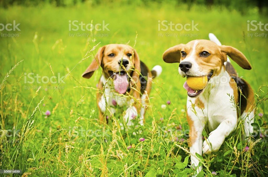 two beagle stock photo