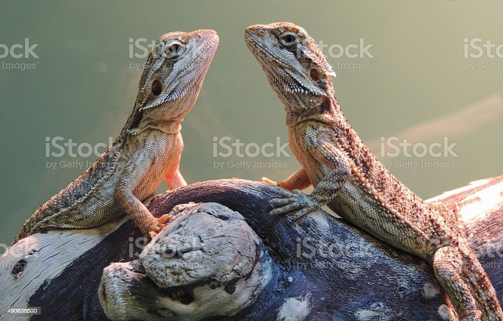 Two Bearded Dragons: face to face stock photo