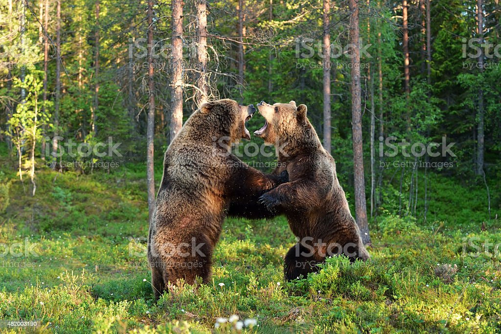 Two bears fighting stock photo