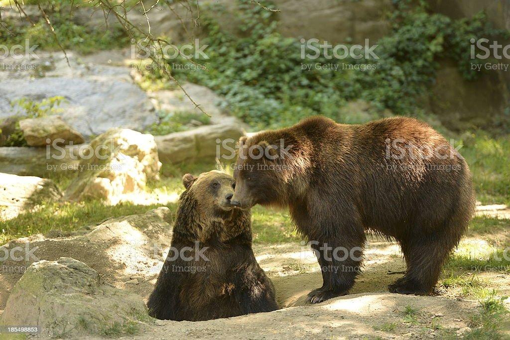 Dois Ursos foto de stock royalty-free