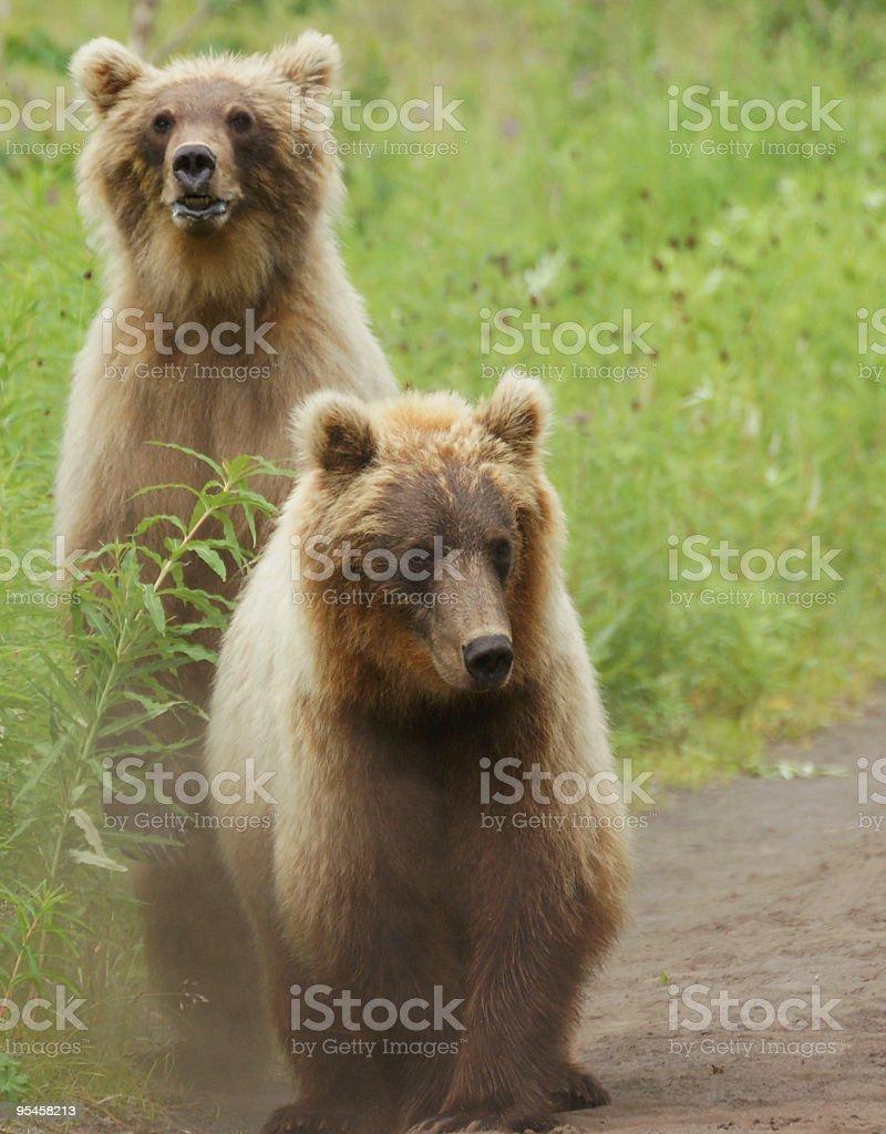 Two bears. stock photo