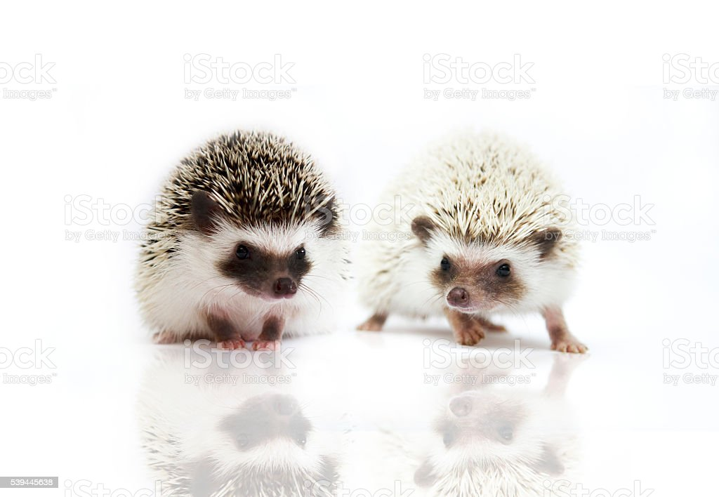two beautiful african pygmy hedgehog in isolate background stock photo