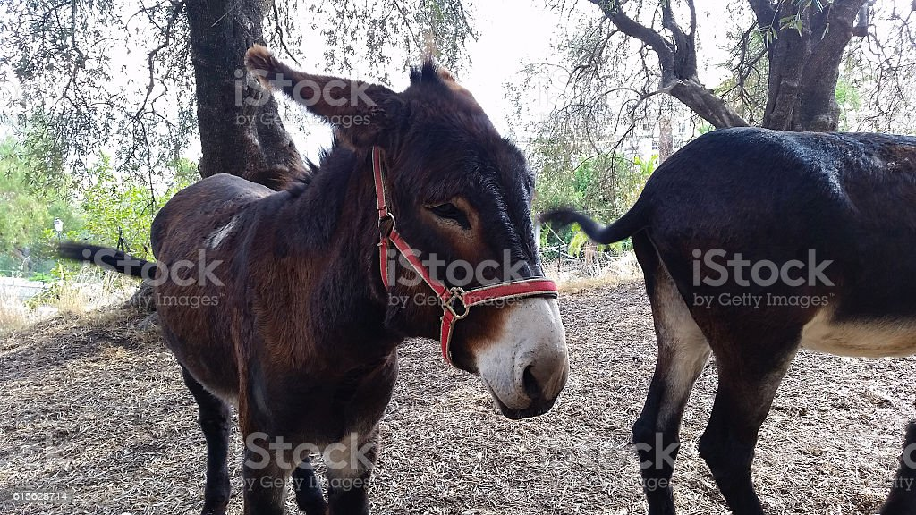 Two Beautiful Brown Donkeys stock photo