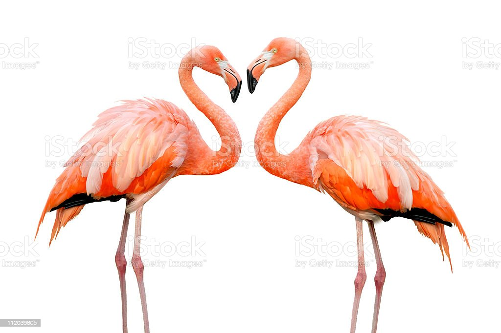 Two beautiful flamingos in love stock photo