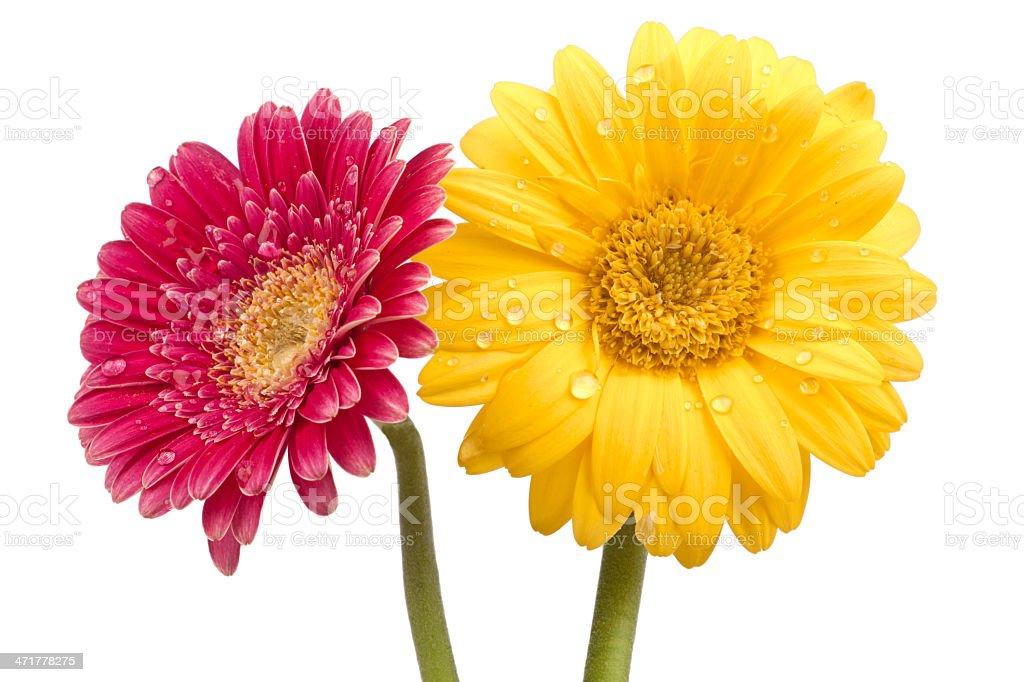 Two beautiful gerbera blossoms royalty-free stock photo