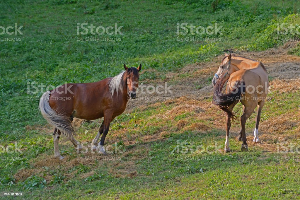Two beautiful horse friends together. stock photo