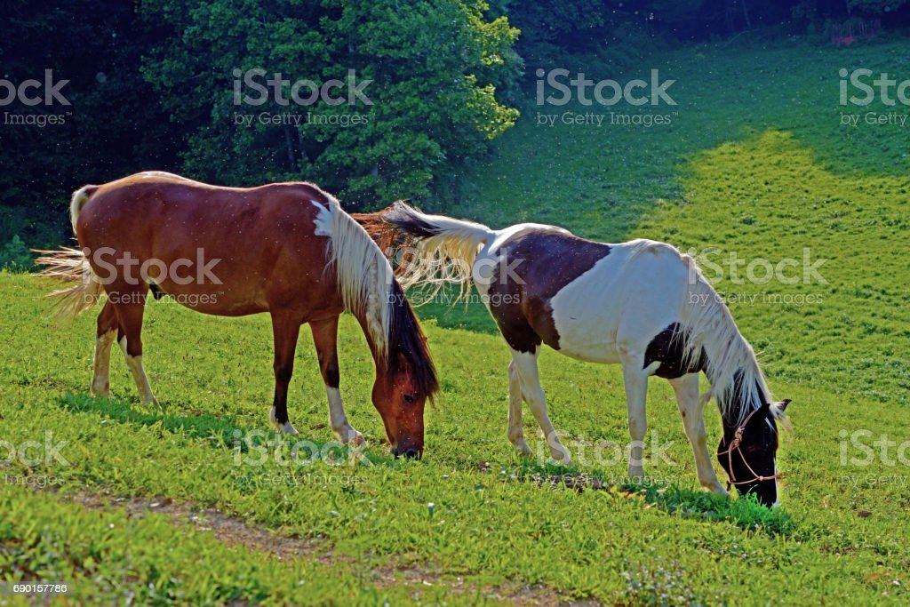 Two beautiful horses grazing together. stock photo