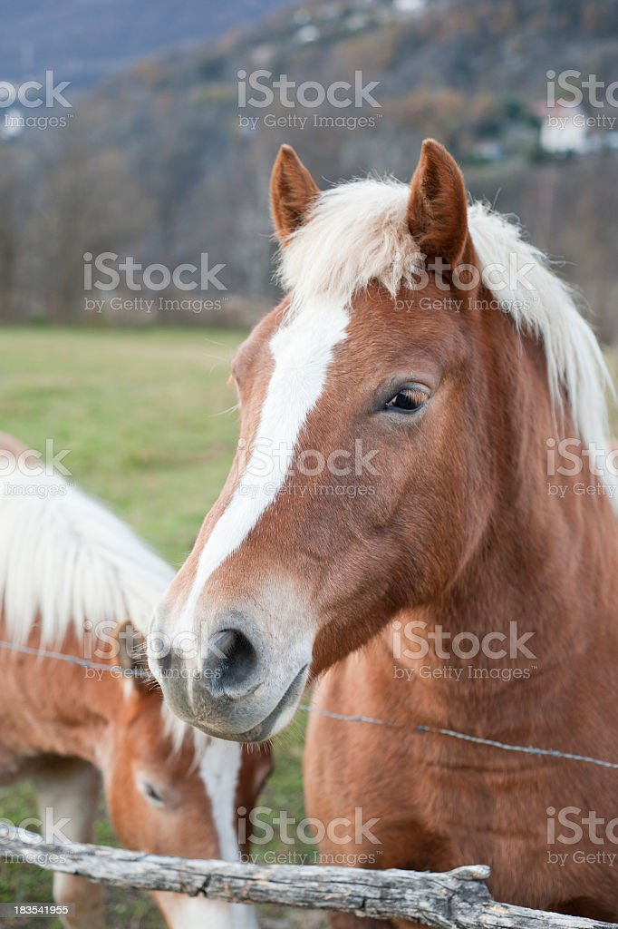Two Beautiful Horses In The Farm stock photo