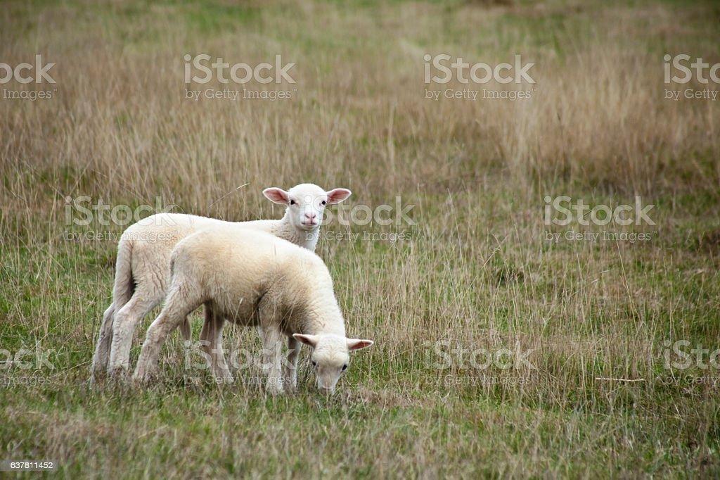 Two beautiful lambs on field. stock photo