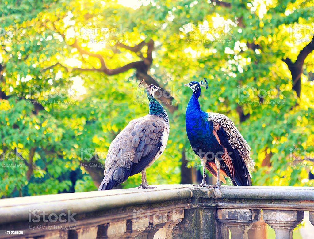 Two Beautiful Peacocks In Palace Garden stock photo