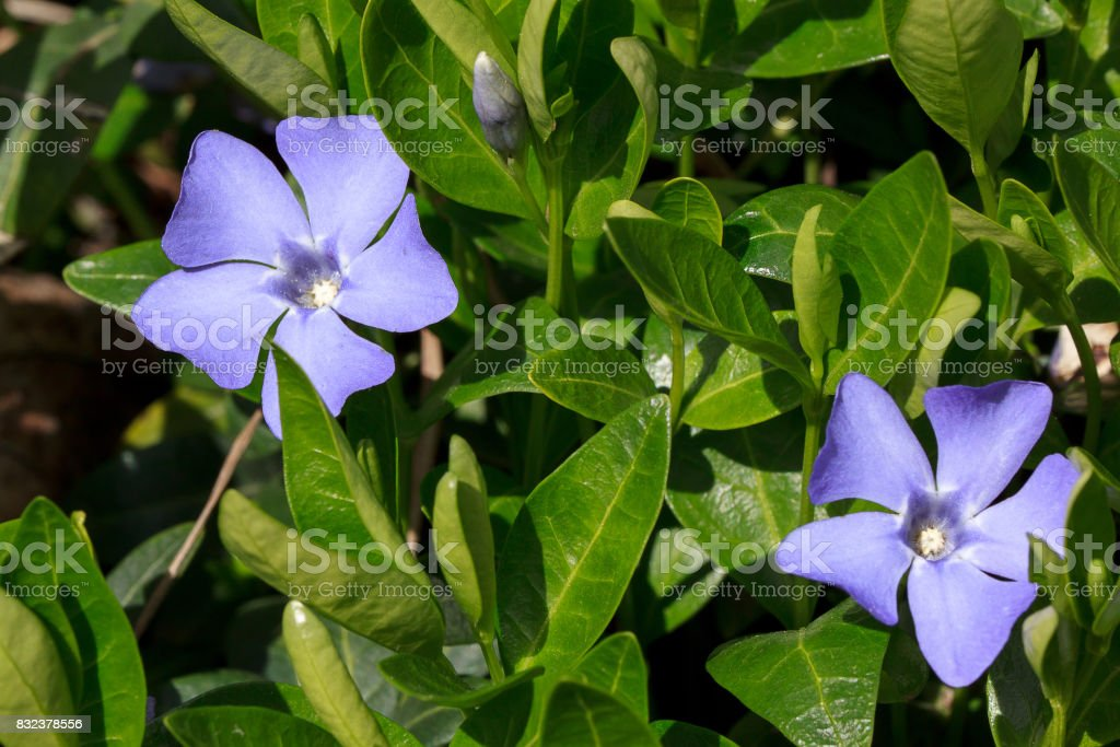 Two beautiful periwinkles on a green meadow. stock photo