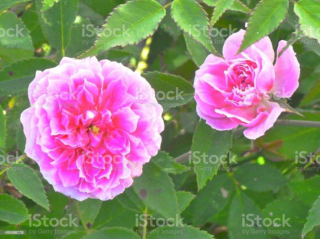 Two beautiful pink Peony flowers photographed in a garden stock photo