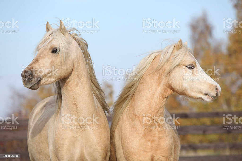 Two beautiful welsh stallions together stock photo