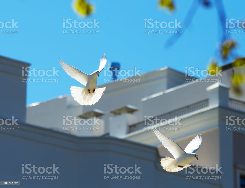two beautiful white doves flying in the sky stock photo