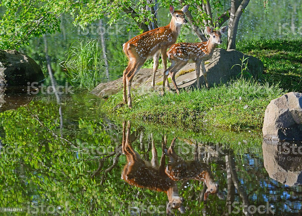 Two beautiful white tailed deer fawns showing water reflections. stock photo