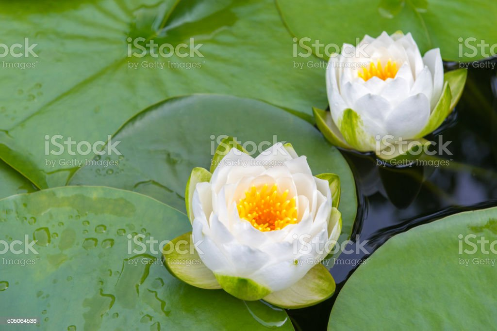 Two beautiful white waterlilies stock photo