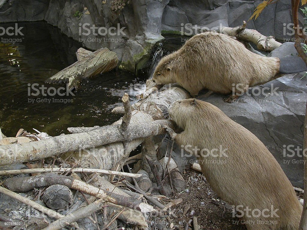 Two beavers helping each other build a dam in the water stock photo