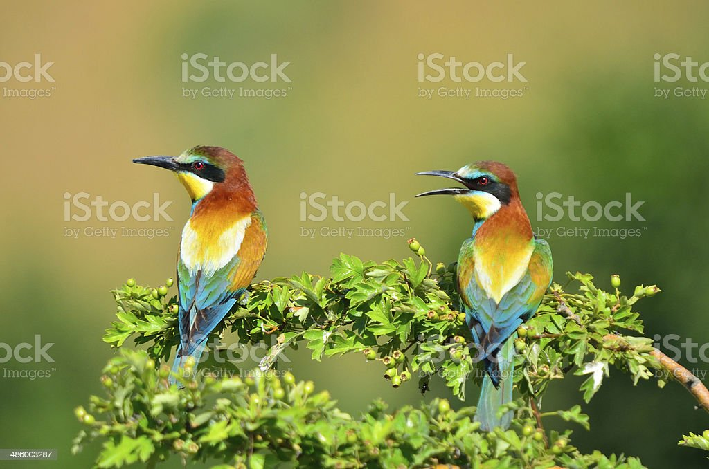 Two bee eater stock photo