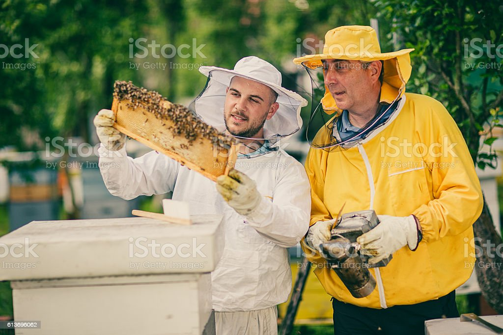 Two beekeepers checking the honeycomb of a beehive stock photo