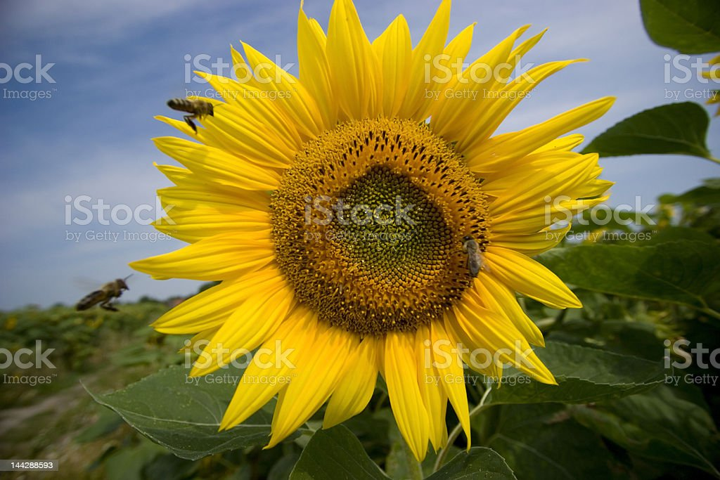 Two bees flying to sunflower royalty-free stock photo
