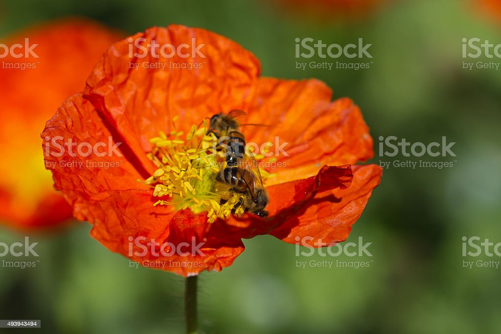 Two Bees On A Poppy royalty-free stock photo