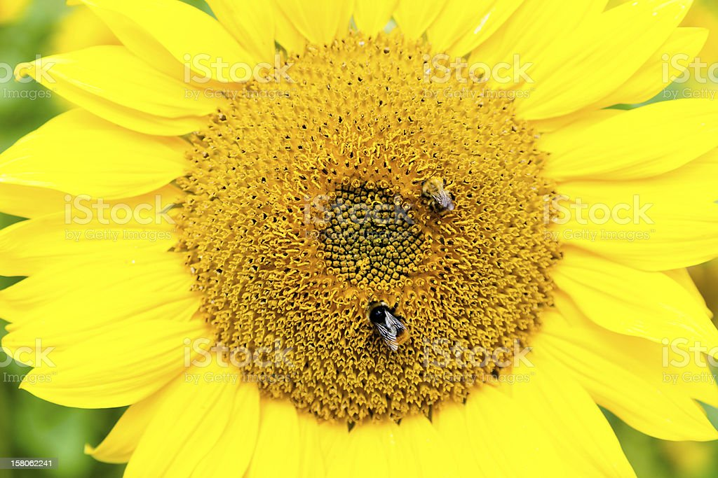 Two Bees on a Sunflower Head royalty-free stock photo
