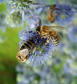 Two bees on blue flowers.