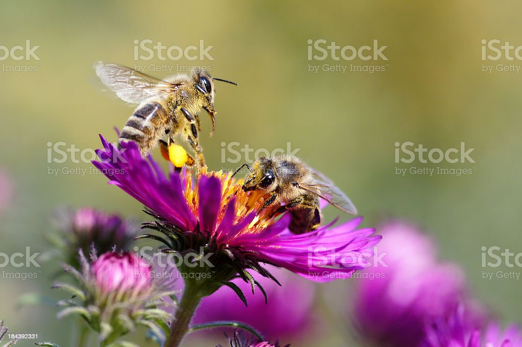 Two bees royalty-free stock photo
