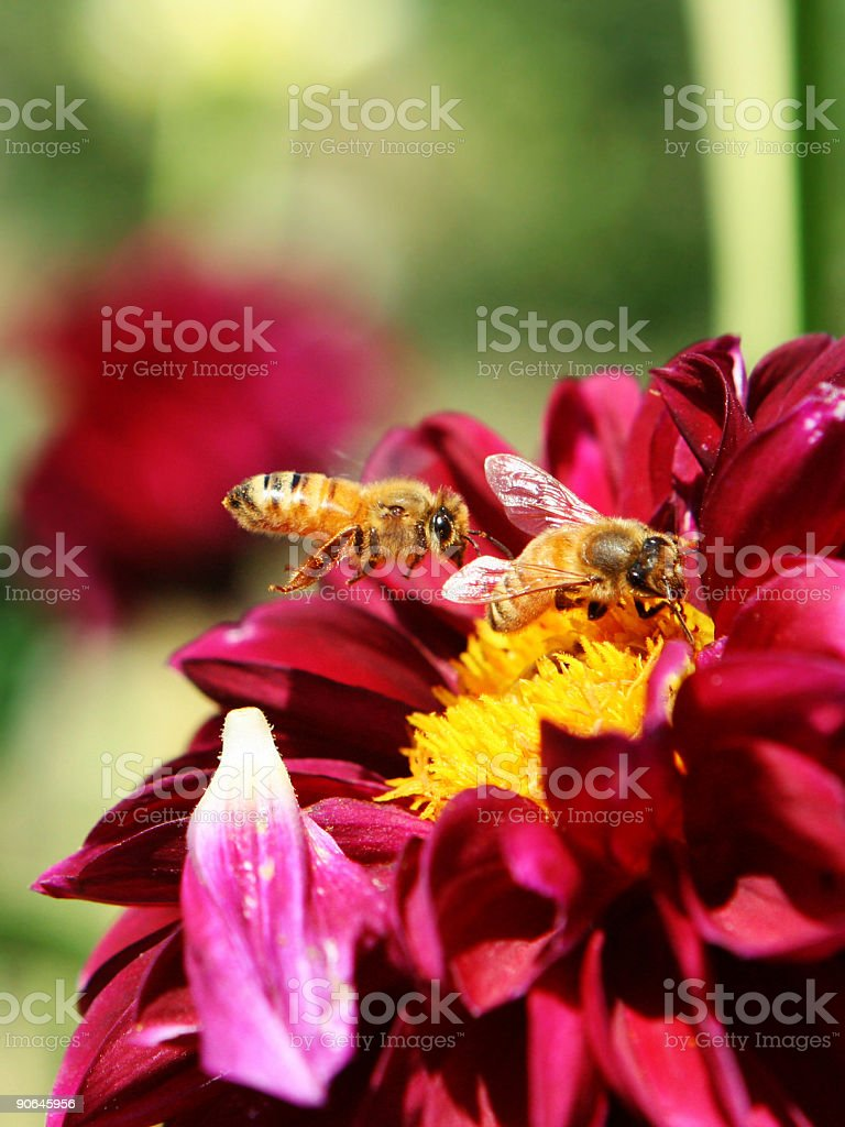 Two Bees Resting on Pink Flower royalty-free stock photo