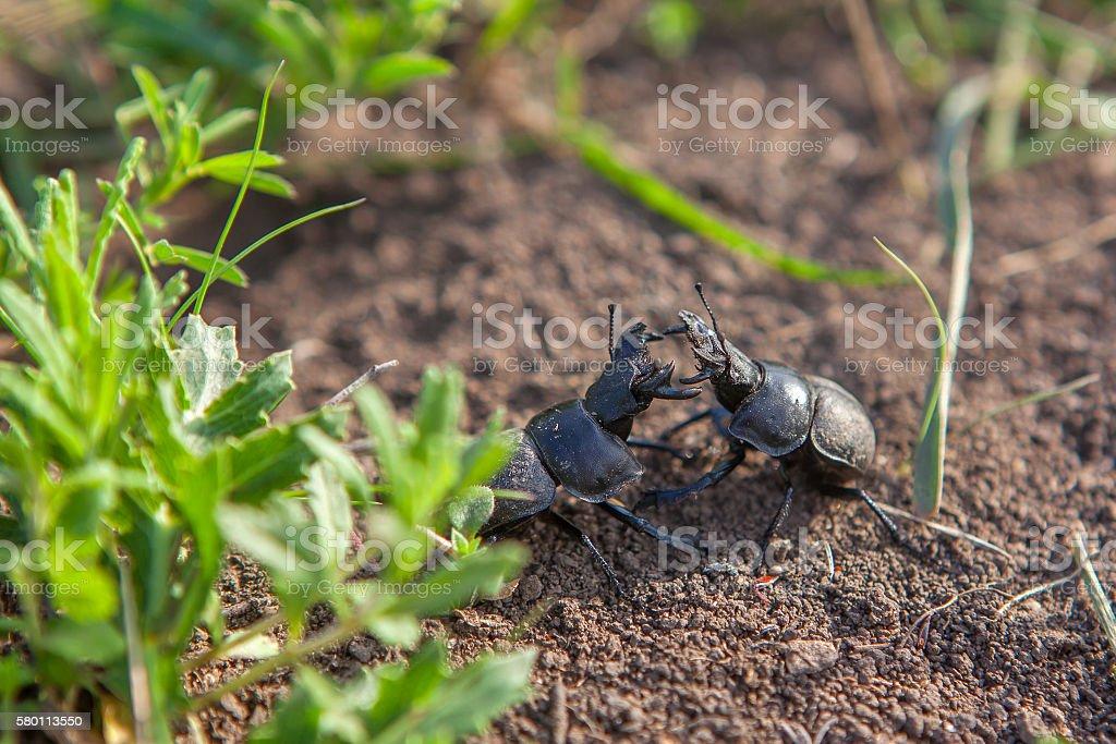 two beetles fighting stock photo