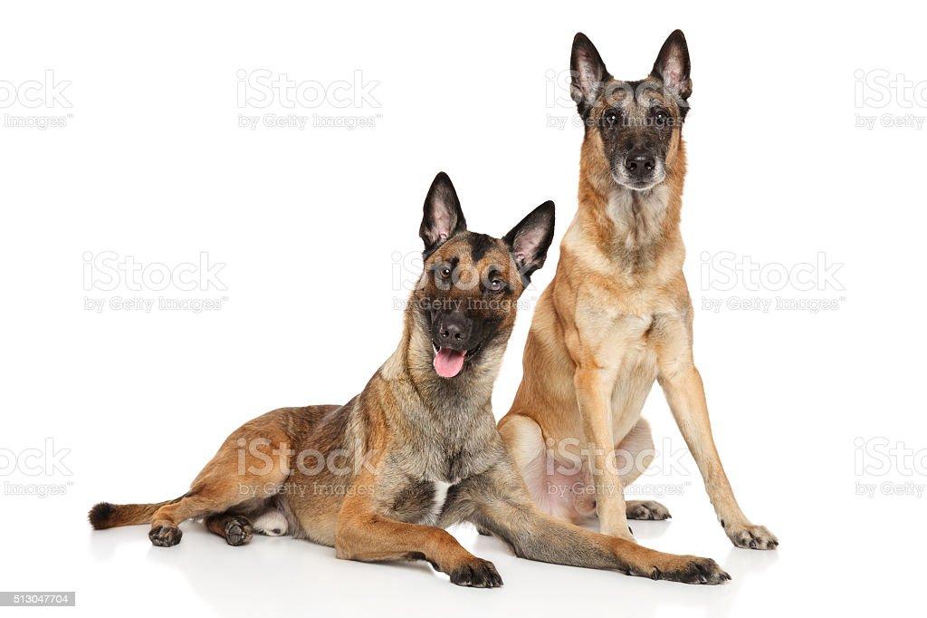 Two Belgian Malinois shepherd dogs stock photo