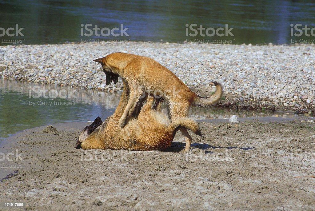 Two belgian shepherd malinois dogs playing on the lakeshore royalty-free stock photo