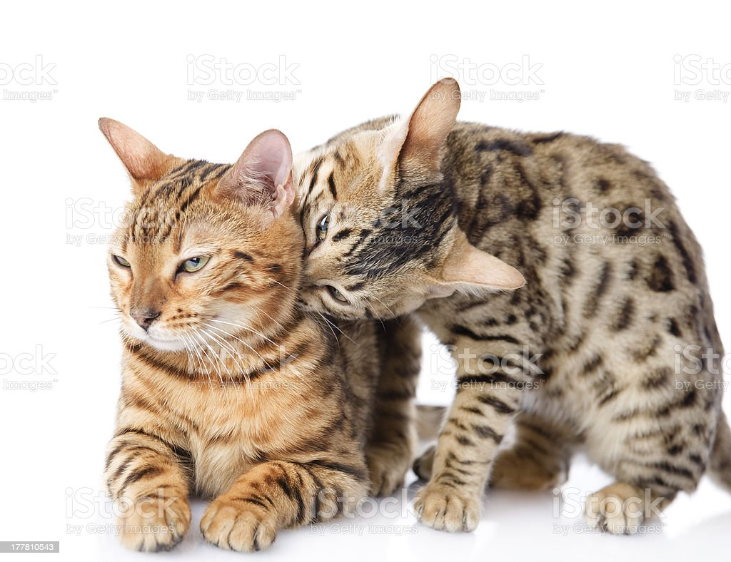 two Bengal cats royalty-free stock photo