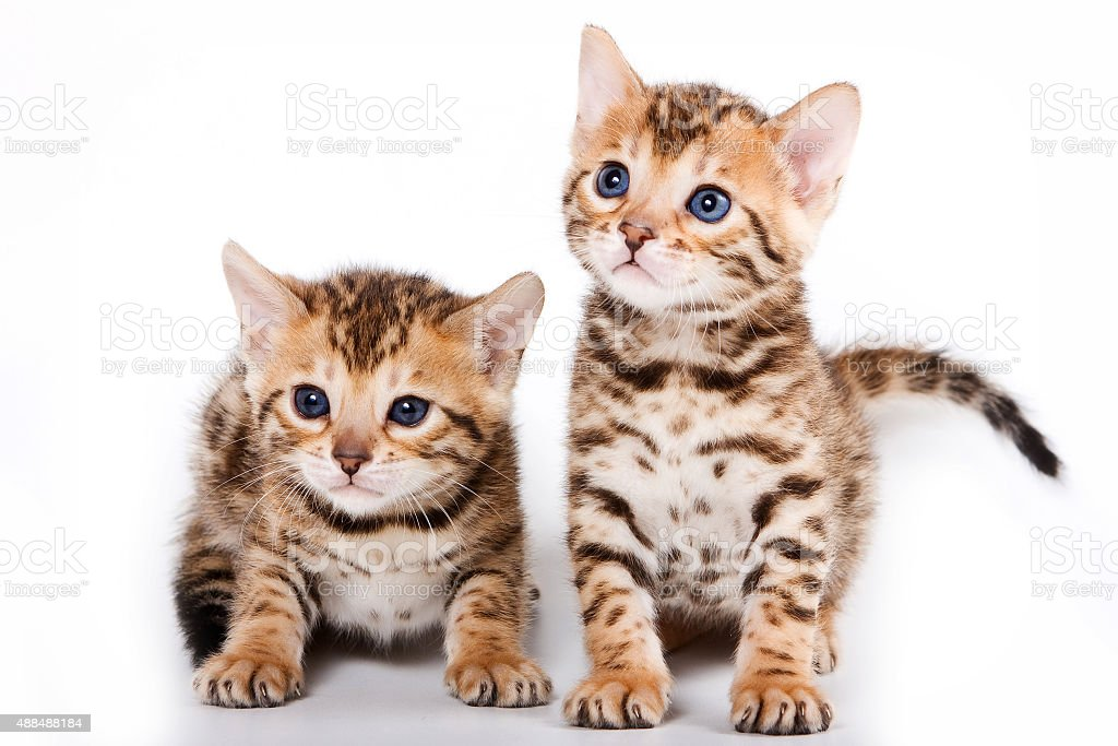 Two Bengal kitten (isolated on white) stock photo