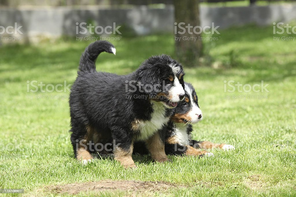 Two Bernese Mountain Dog puppies in the garden royalty-free stock photo