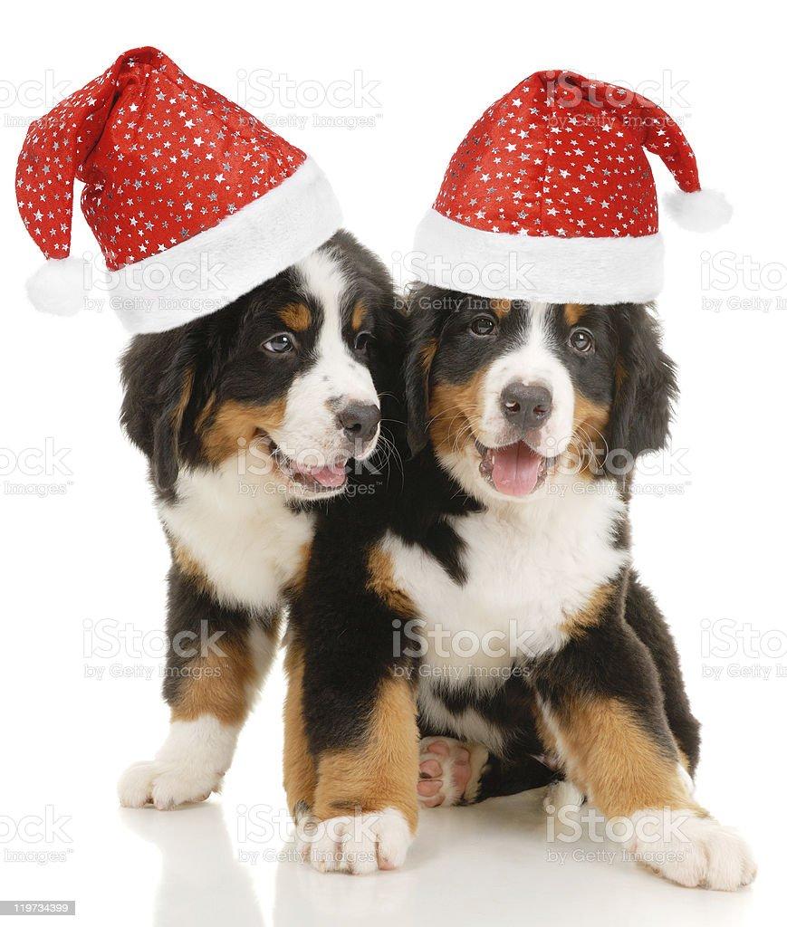 Two bernese sennenhund puppies royalty-free stock photo
